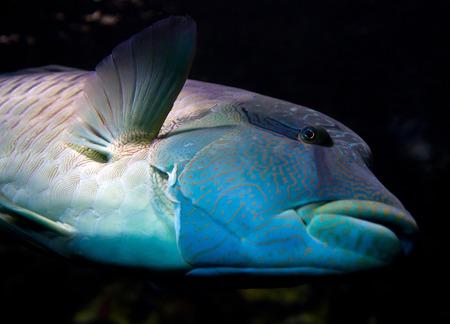 napoleon fish: napoleon fish Stock Photo