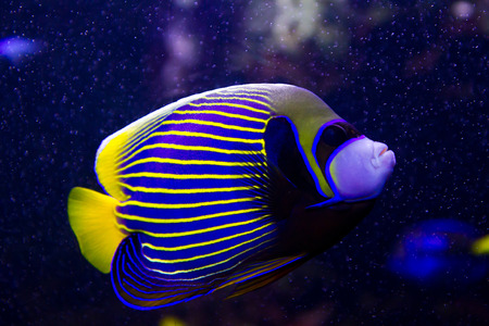 royal angelfish: angelfish