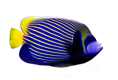 Angelfish isolé sur fond blanc. Banque d'images - 44810158