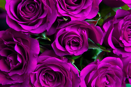 purple rose: Purple natural roses background Stock Photo