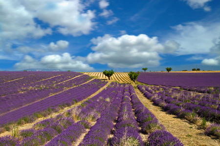 scented: Lavender flower blooming scented fields
