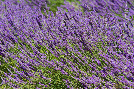 french perfume: Lavender flower close up in a field in Provence France Stock Photo