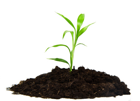 land plant: plant with green leaves, and land on the white background Stock Photo