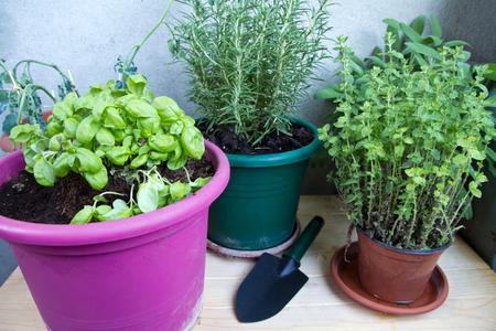 plante: plantes aromatiques sur le balcon