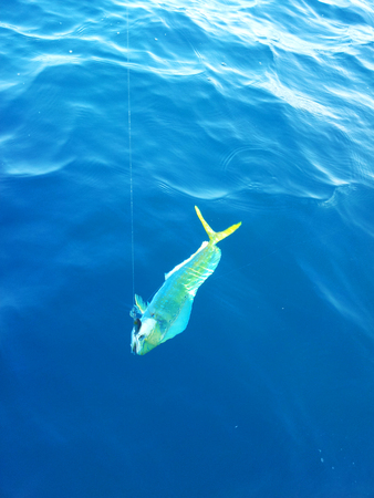 sportfishing: Dorado dolphinfish in the sea