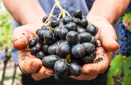 Grapes harvest. Farmers hands with freshly harvested black grapes