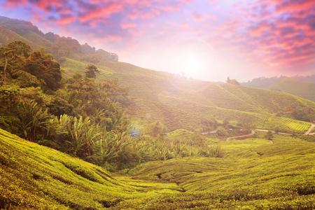Tea plantation Cameron highlands, Malaysia Standard-Bild