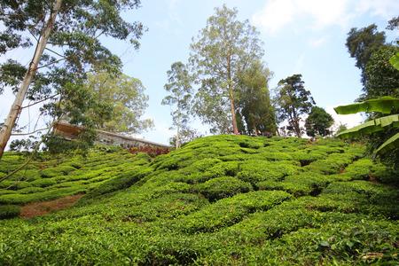 Tea plantation Cameron highlands, Malaysia Stock Photo