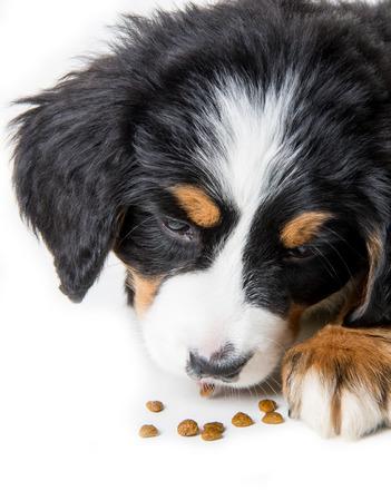 puppy of mountain dog Zdjęcie Seryjne