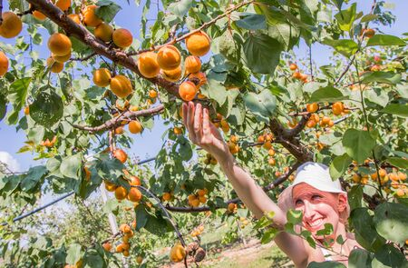 Nice woman picking apricots lit by warm summer light Фото со стока