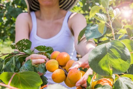 Nice woman picking apricots lit by warm summer light Stock Photo