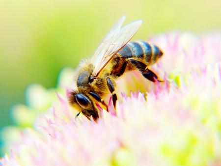 abejas: miel de abeja de la flor Foto de archivo