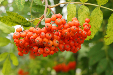 aucuparia: rowanberry (Sorbus aucuparia) fruits