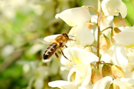 honey bee on the white flower of acacia - Robinia pseudoacacia