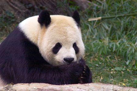 giant panda: Giant panda 3. National Zoo in Washington