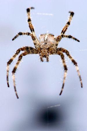 dewey: Spider su sfondo blu,  Archivio Fotografico