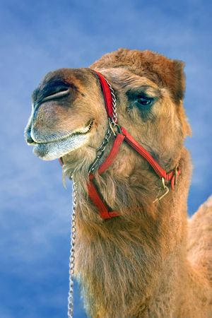 Camel. Stock Photo - 398414