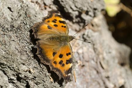 pokrzywka: Zwyczajne pokrzywka (Latin Aglais urticae lub urticae Nymphalis) - dzienny z rodziny Nymphalidae, gatunki z rodzaju Aglais.Epithet naukowej nazwy, Urticae, pochodzi od słowa Urtica (pokrzywa), a ze względu na fakt, że pokrzywy - jedna TH
