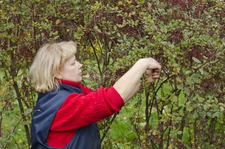 barberry: Woman in a garden collects barberry