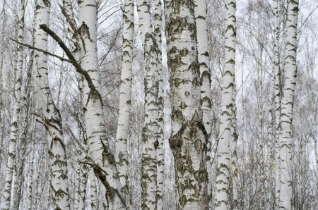 birch bark: Birch background  Trunks of birch trees in the autumn forest