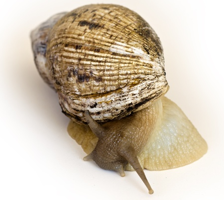 hermaphrodite: The giant snail Achatina - the largest land mollusk Stock Photo