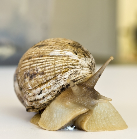 mollusk: The giant snail Achatina - the largest land mollusk Stock Photo