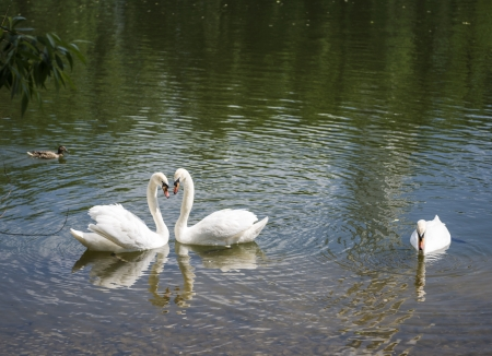 a pair of white swans on a pond folded head heart