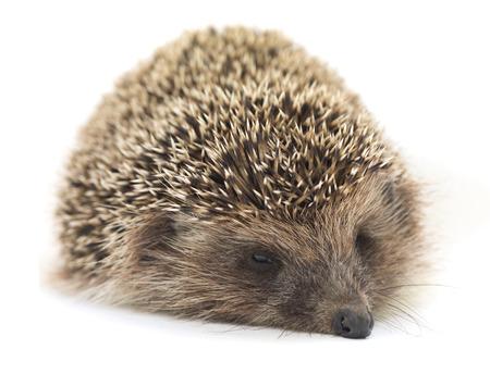 European hedgehog on white background