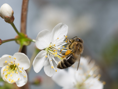 bee on white flower: honeybee collects nectar on the flowers of cherry Stock Photo