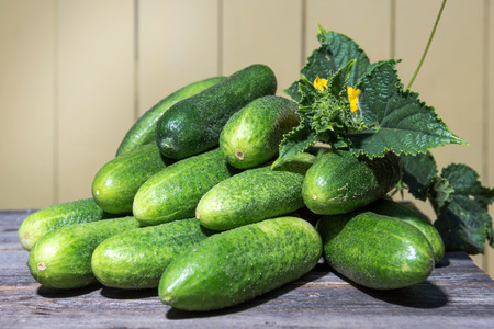 Fresh collected in the garden cucumbers lie on the old desk