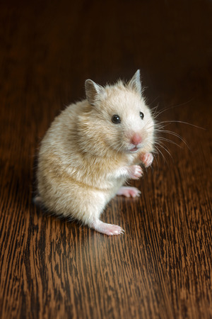 hamster: small nice hamster pale yellow on a wooden surface Stock Photo