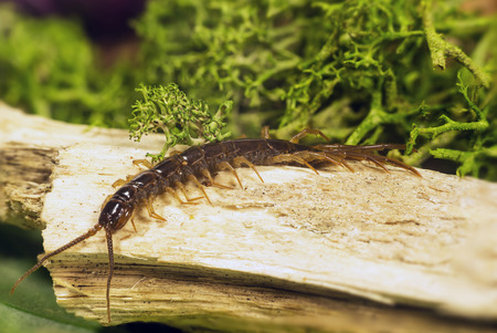 arthropods belonging to the class of the Chilopoda subtype Myriapoda Stock Photo