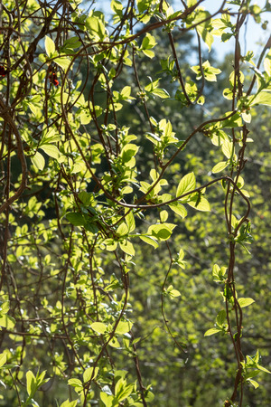 Schisandra wild - young buds and leaves in spring