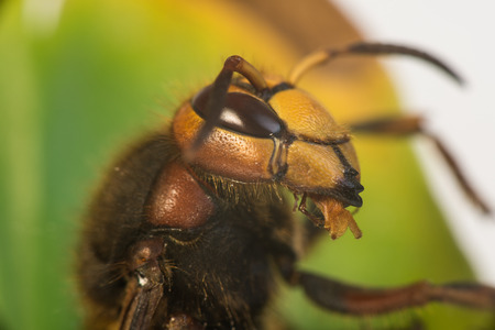 Hornet are insects, the largest eusocial wasps