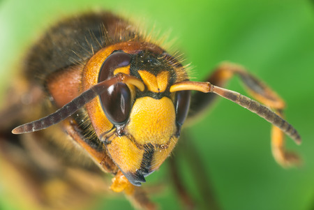 hornet: Hornet are insects, the largest eusocial wasps
