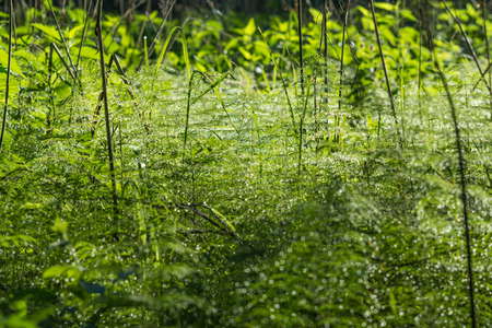 glisten: dew drops glisten in the needles of horsetail early summer morning