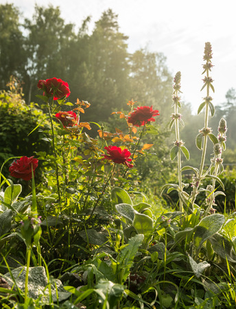 red roses in the garden of the evening after the rain