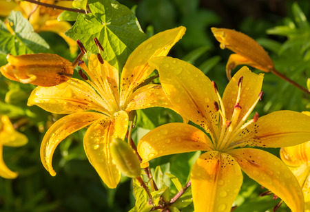 yellow lilies in the garden after rain in sunlight