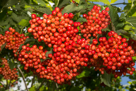 guelder rose berry: viburnum - red berries hang bunches on a bush Stock Photo