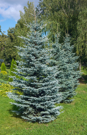 spruce: Colorado blue spruce, with the scientific name Picea pungens