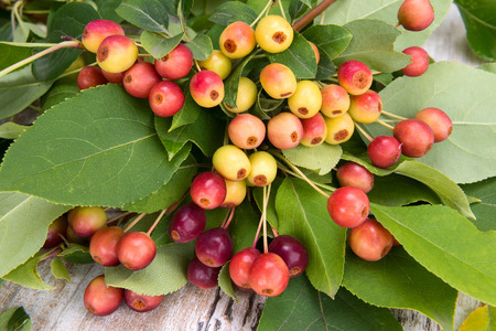 fruitful: fruits of wild apple trees with leaves close up