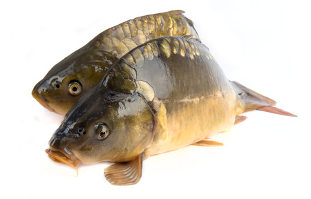 mirror carp: mirror carp - weighing 3 pounds of fish isolated on white background