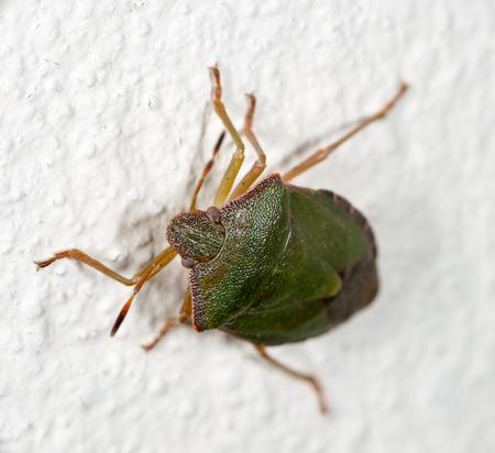 bedbug: green a bedbug crawling on the white wall of the house Stock Photo