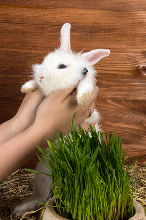 very pretty little white rabbit eats grass in his home