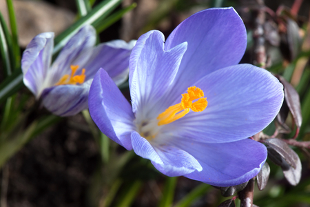 Blue crocuses blossom in early spring