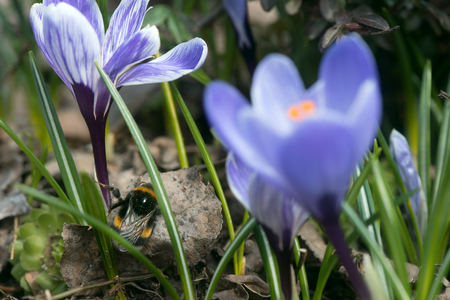 Bumblebee after winter hibernation climbs to the first flowers in the garden