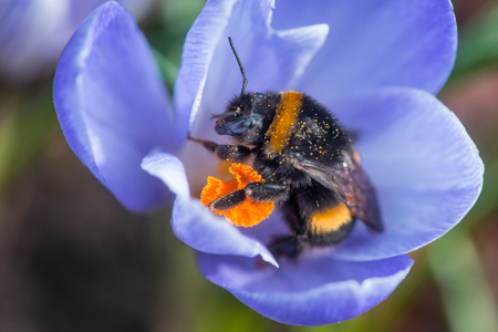 Bumblebee after hibernation collects pollen on the first flowers in the garden Stock Photo