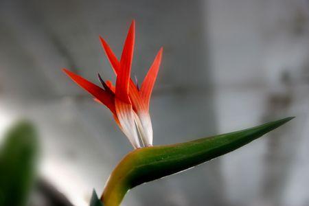 bird of paradise: Flowers, green, bird paradise, features Stock Photo