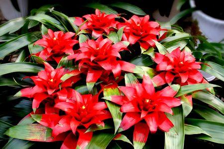 Red, flower, leaf, green, flower pots photo