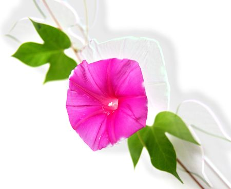Flowers green leaves isolated on white background photo